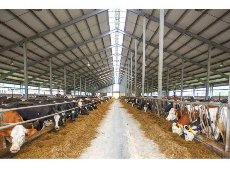 Metal cattle sheds for sale-kafa steel